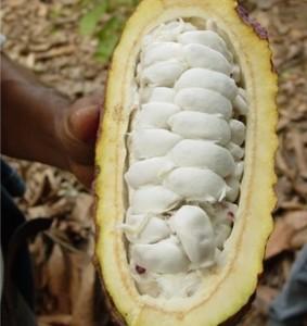 Una cabosse appena aperta. Si noti la polpa bianca che circonda i semi e che sarà fondamentale nel processo di fermentazione.